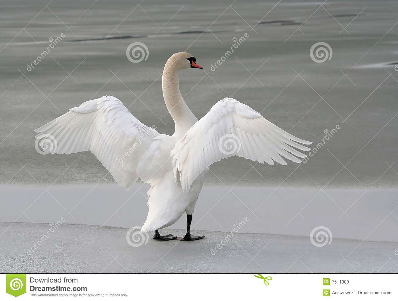Swan Stretching Out Its Wings On A Frozen Lake Royalty