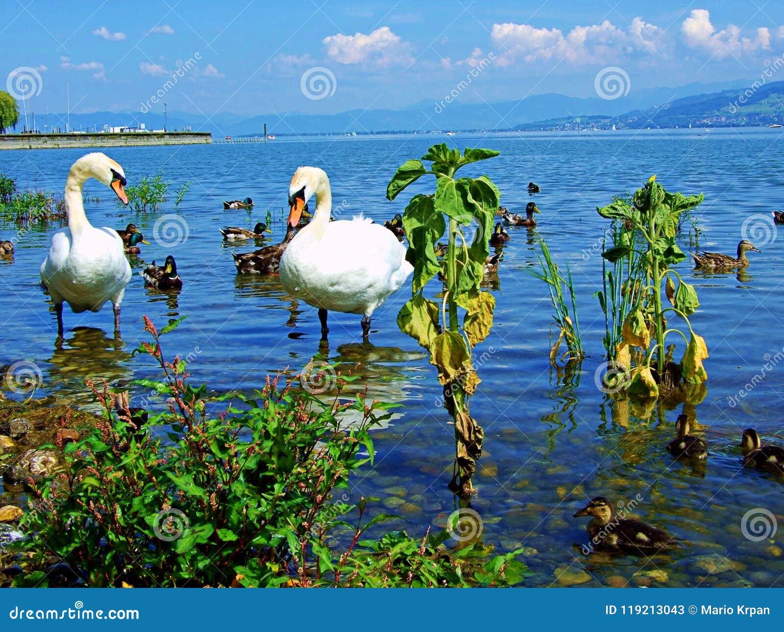 Swan Water Bird Lake White Nature Animal Swans Birds