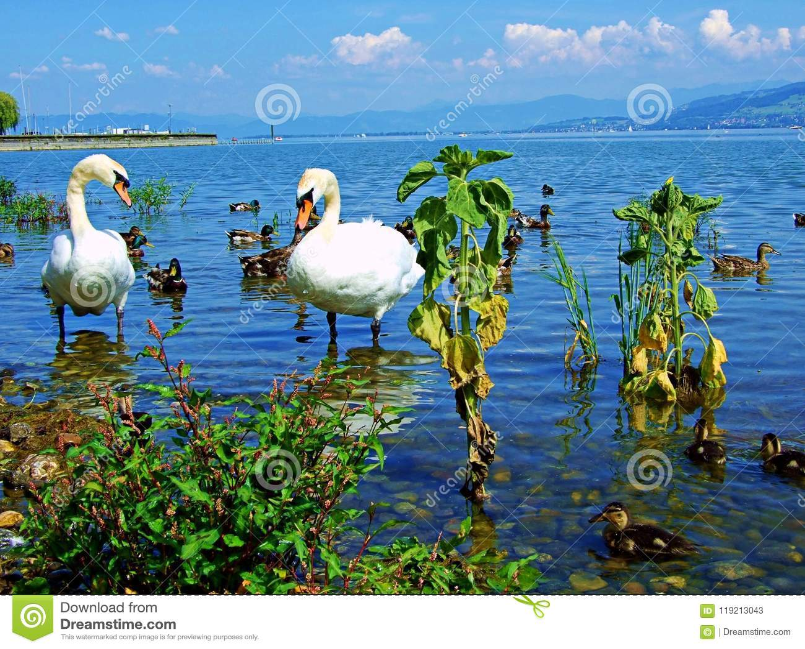 Image of: Cute Swan Water Bird Lake White Nature Animal Swans Birds Beautiful Wildlife Beauty Love River Pond Blue Graceful Elegance Reflection Animals Dreamstimecom Swan Water Bird Lake White Nature Animal Swans Birds