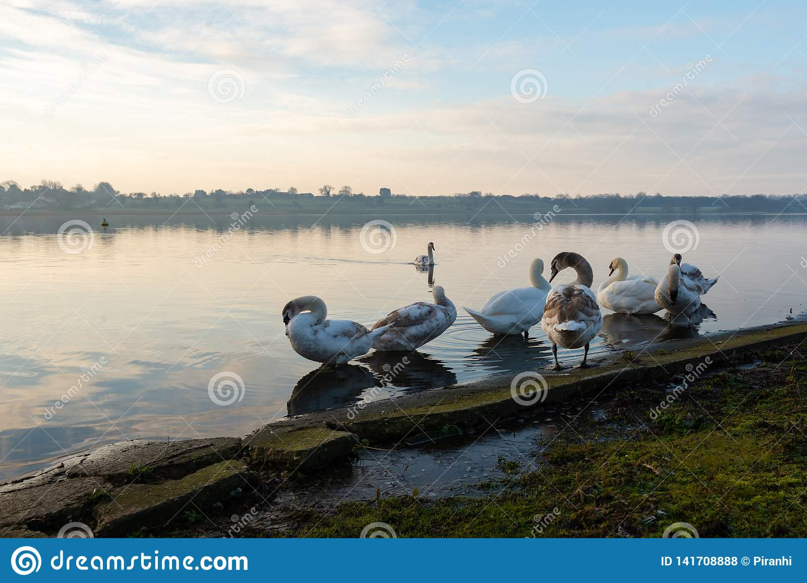 Swans clean themselves on a frozen lake in the middle of Winter in Hornsea Mere