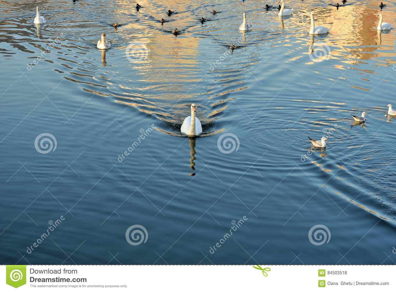 Swans, ducks and gulls on the river