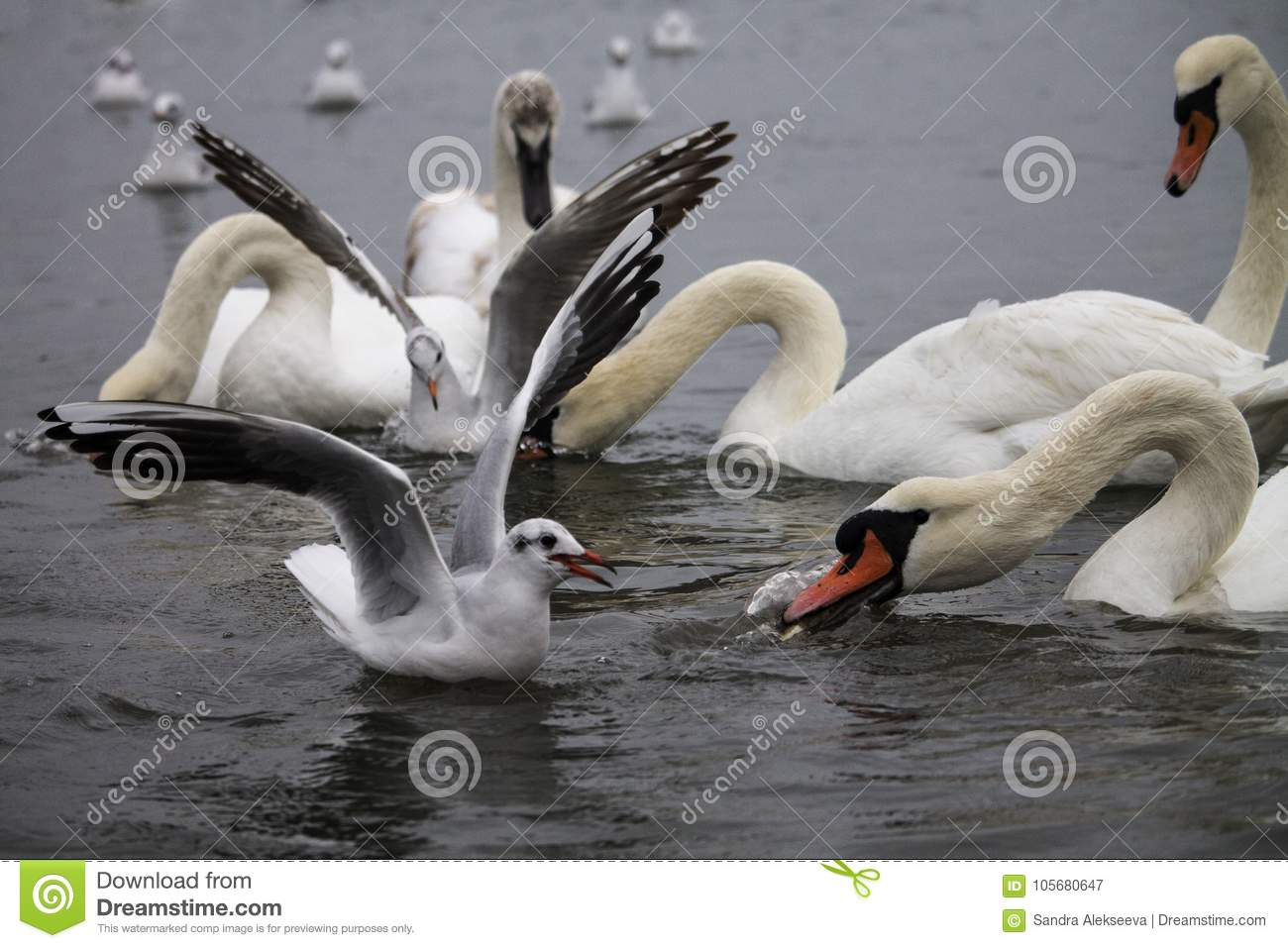 Swans and gulls fighting for food