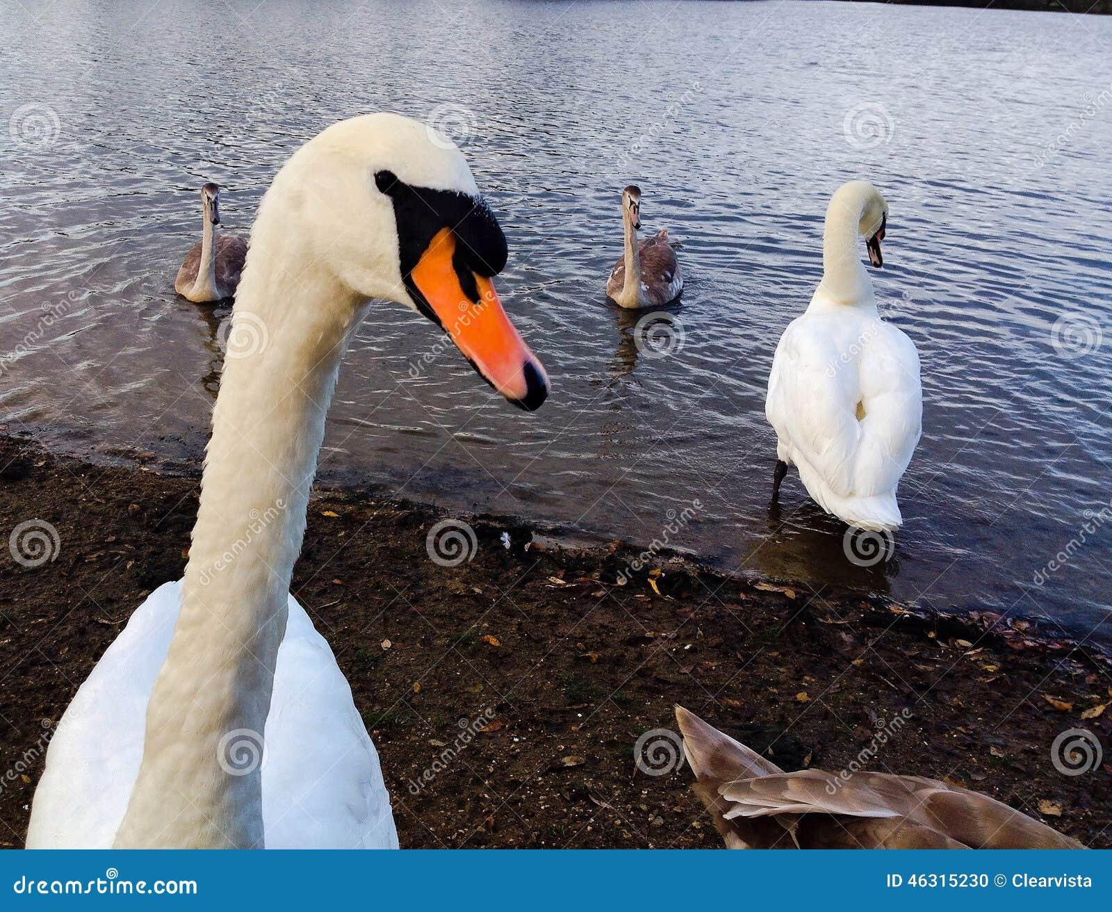 Swans head close up looking at the camera.
