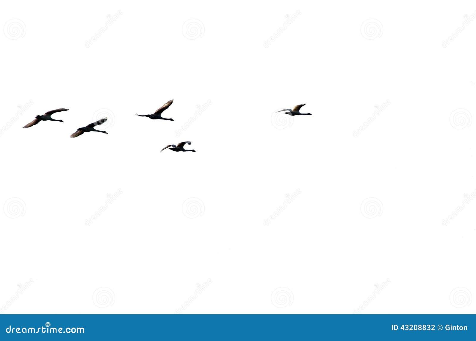 Download Swans i flyg arkivfoto. Bild av översikt, svärm, säsong - 43208832