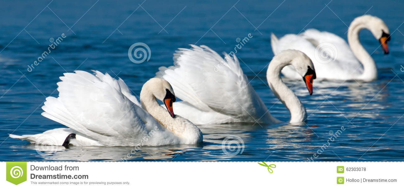 Swans Stock Photo - Image: 62303078