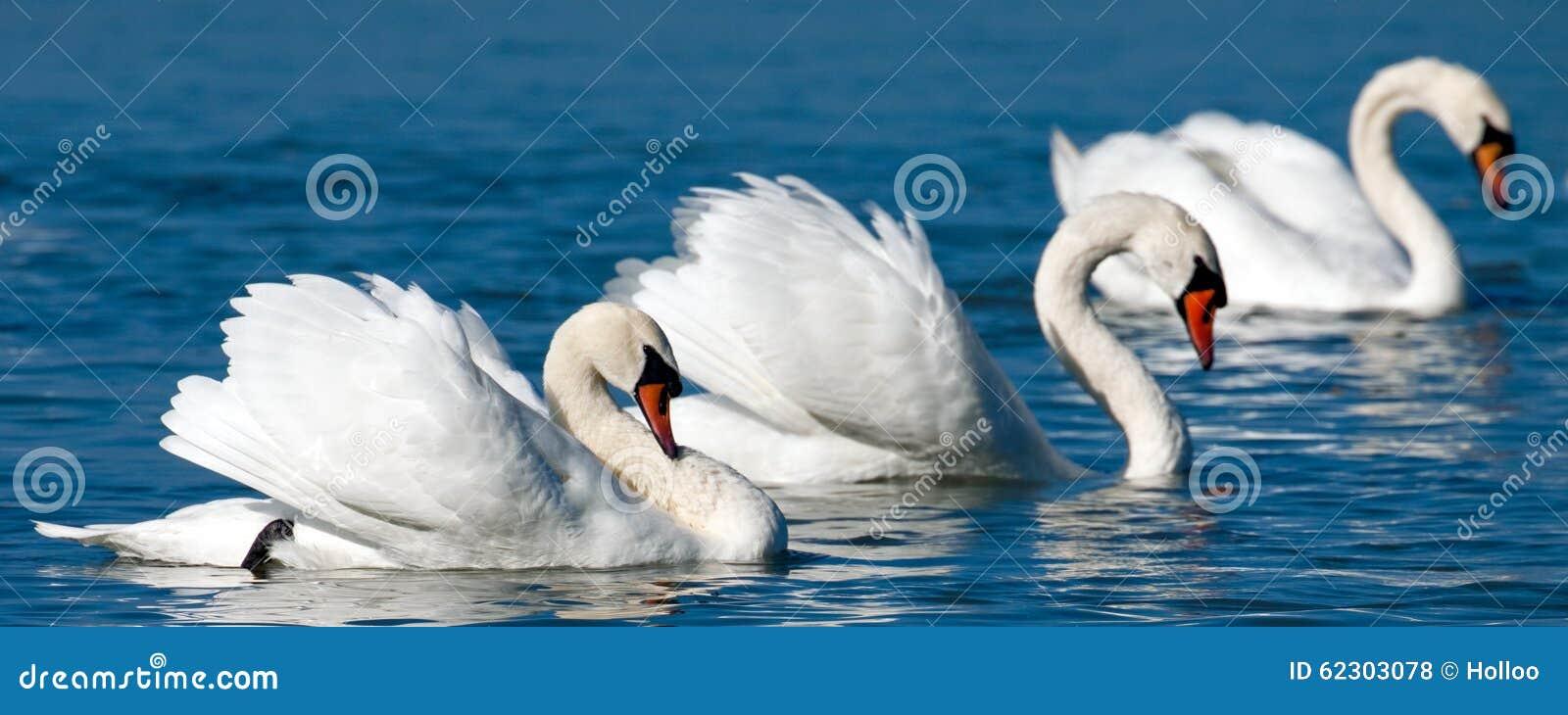 Swans Stock Photo - Image: 62303078