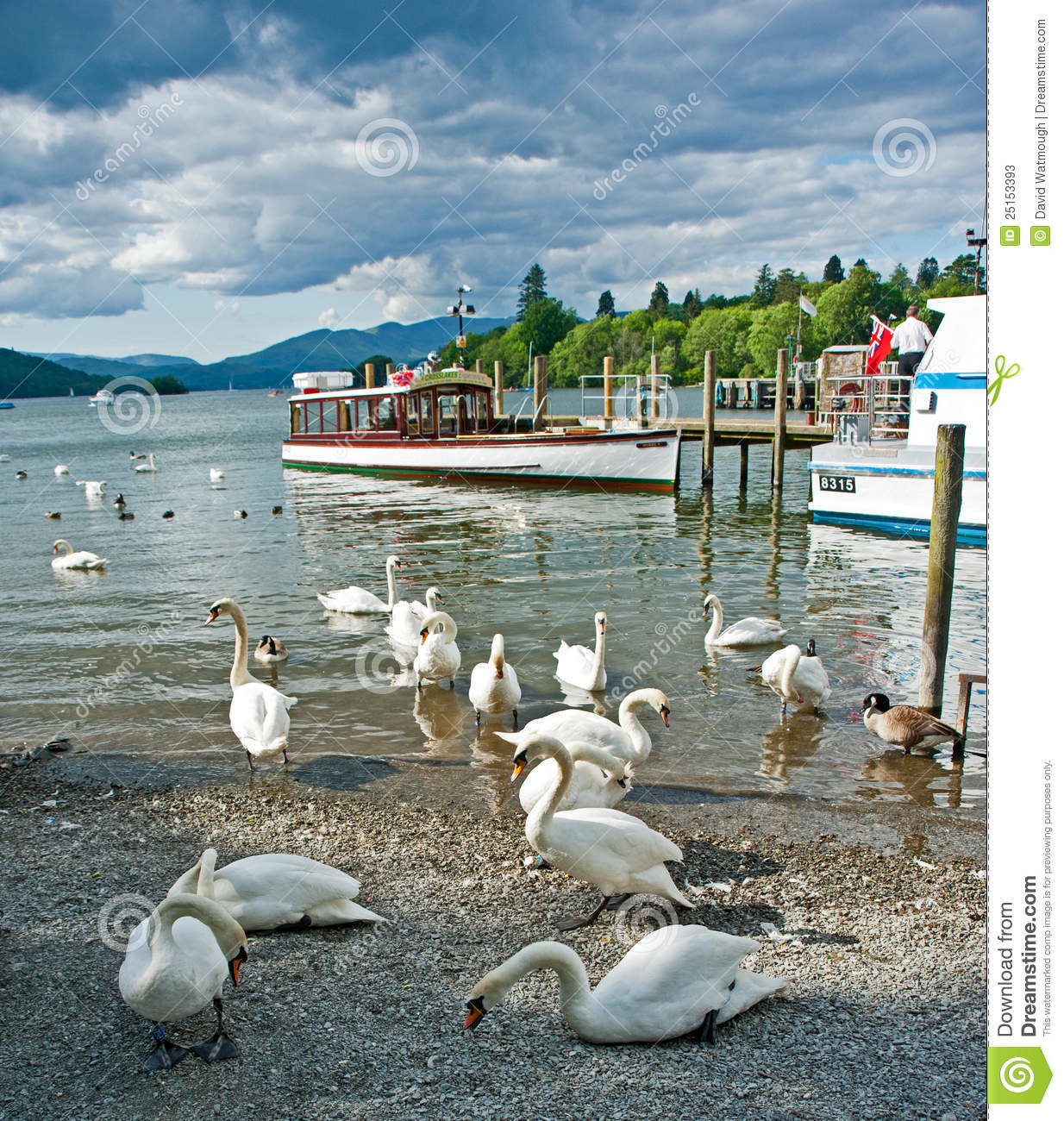 Swans On Lake Windermere Editorial Stock Photo