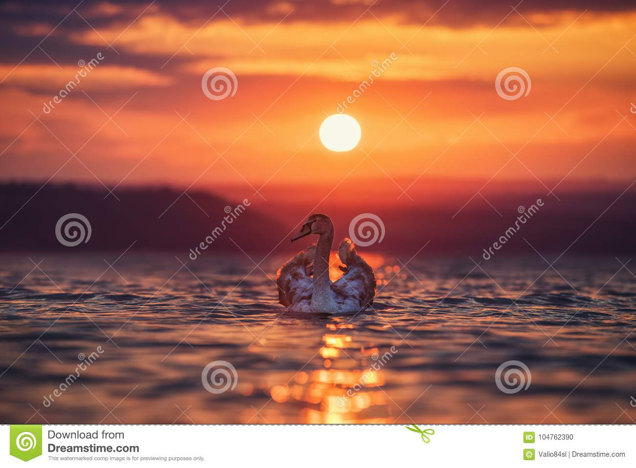 Swans in the sea and beautiful sunset