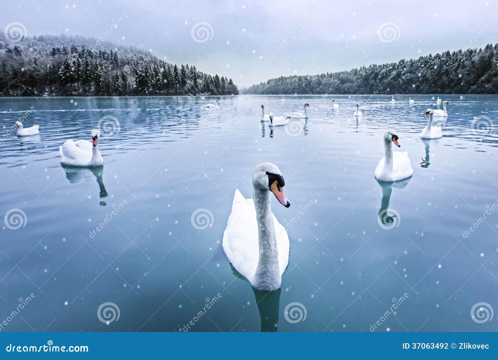 Swans, snow, lake, winter