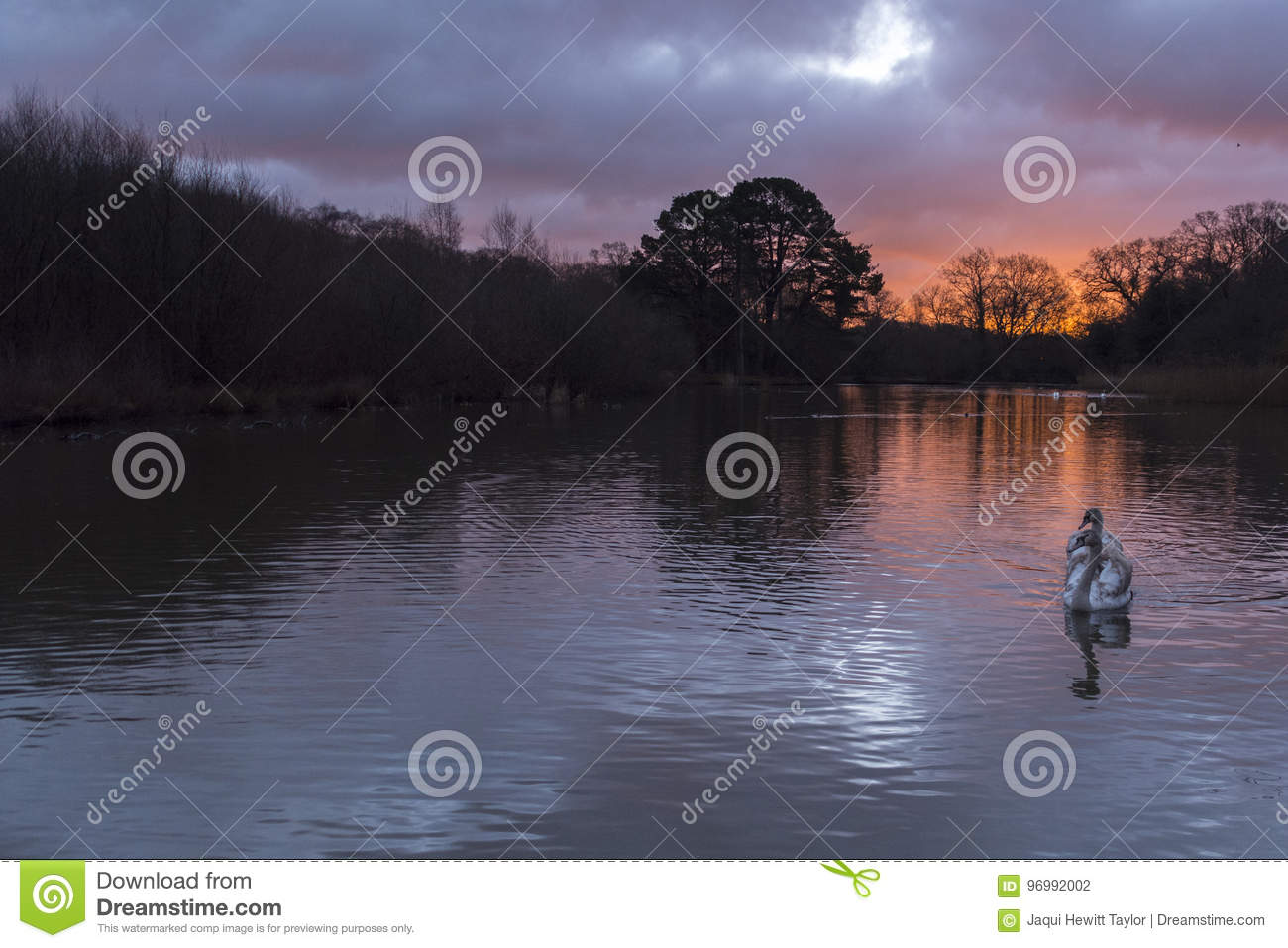 Swans in the sunrise at Southampton Common
