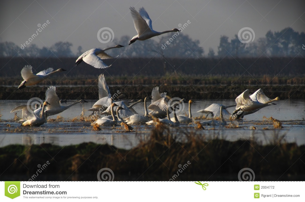Swans Taking Off Stock Photography - Image: 2004772