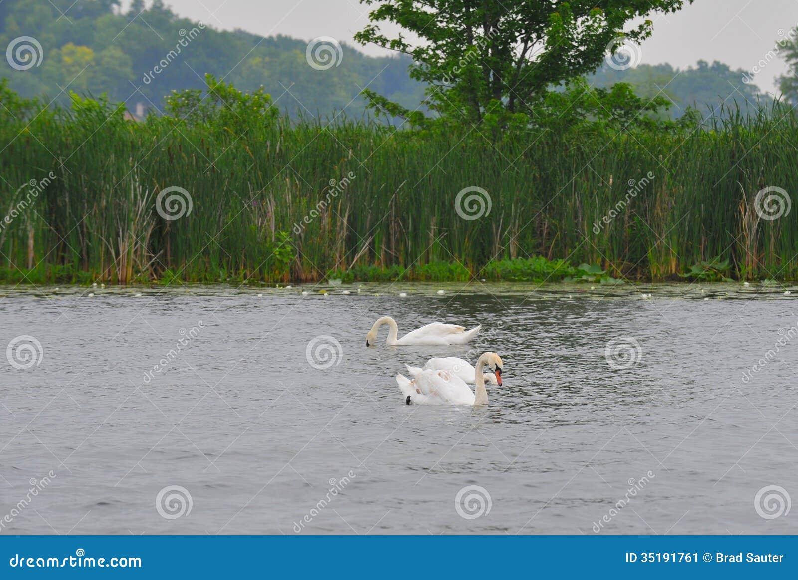 3 swans stock image image 35191761 for Lake james fishing