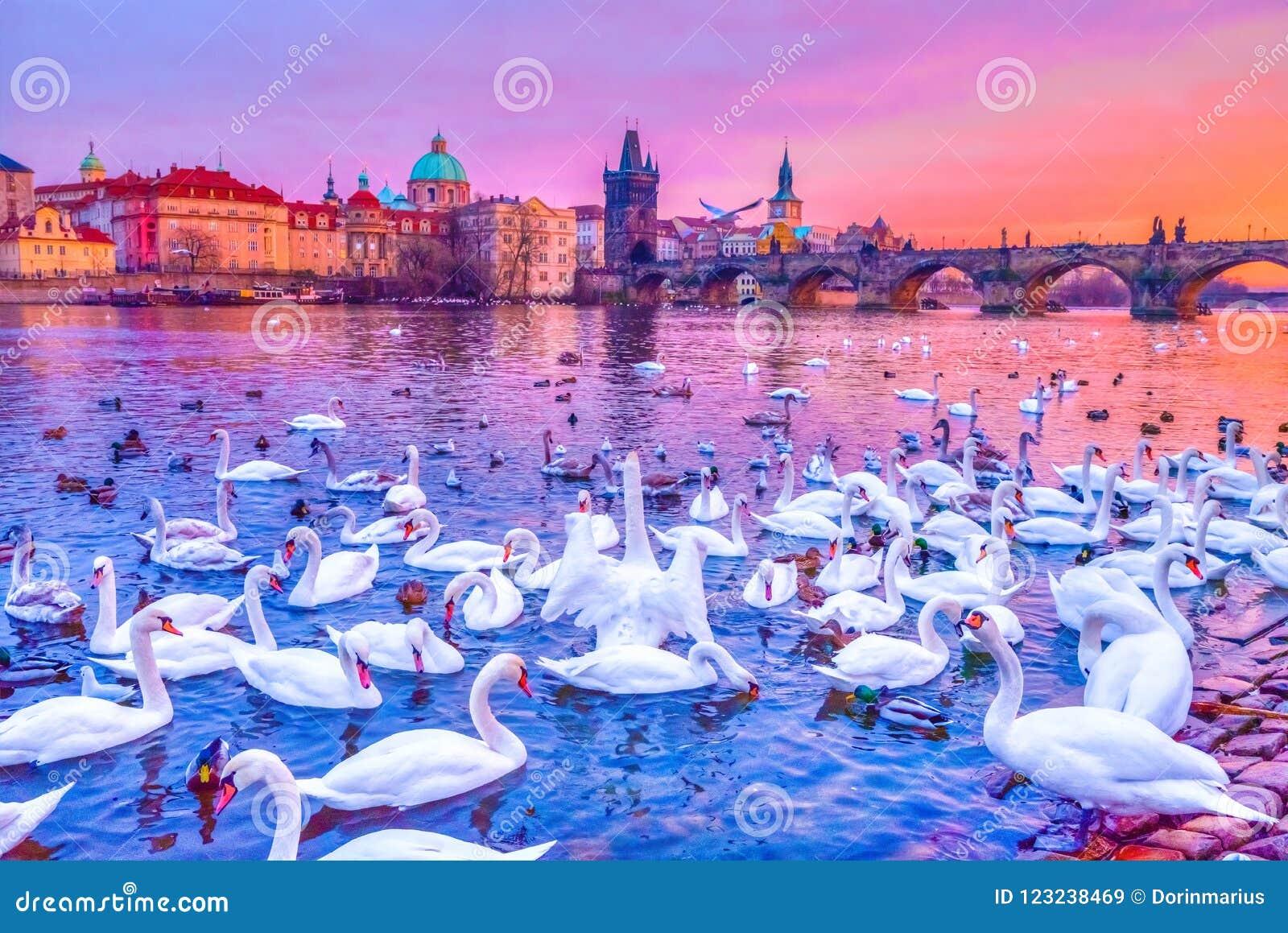 Swans on Vltava river, Charles Bridge at sunset in Prague, Czech Republic.