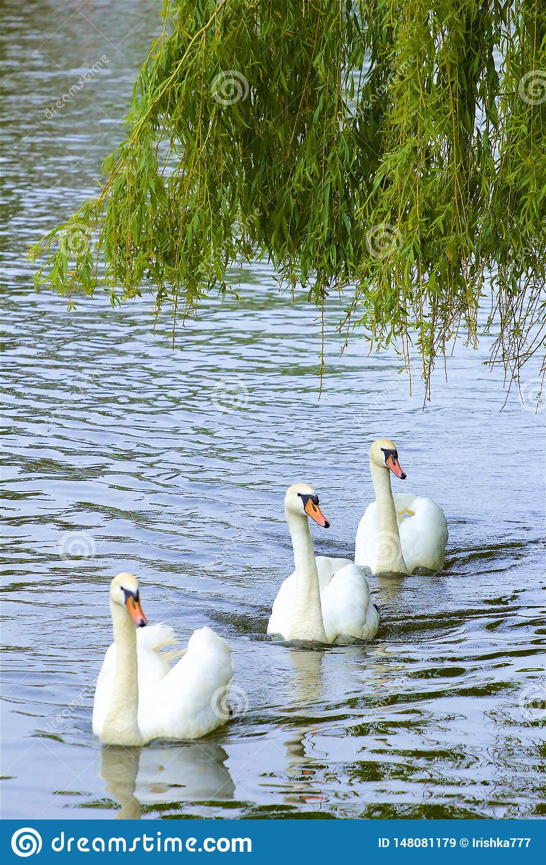 Swans in Walton-on Thames, England