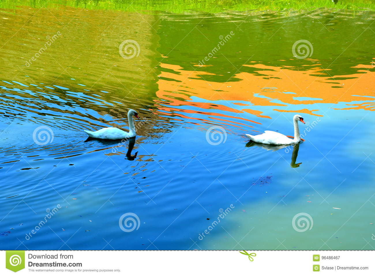 Swans and Water channel in the old medieval fortress of the city Fagaras, Brasov county