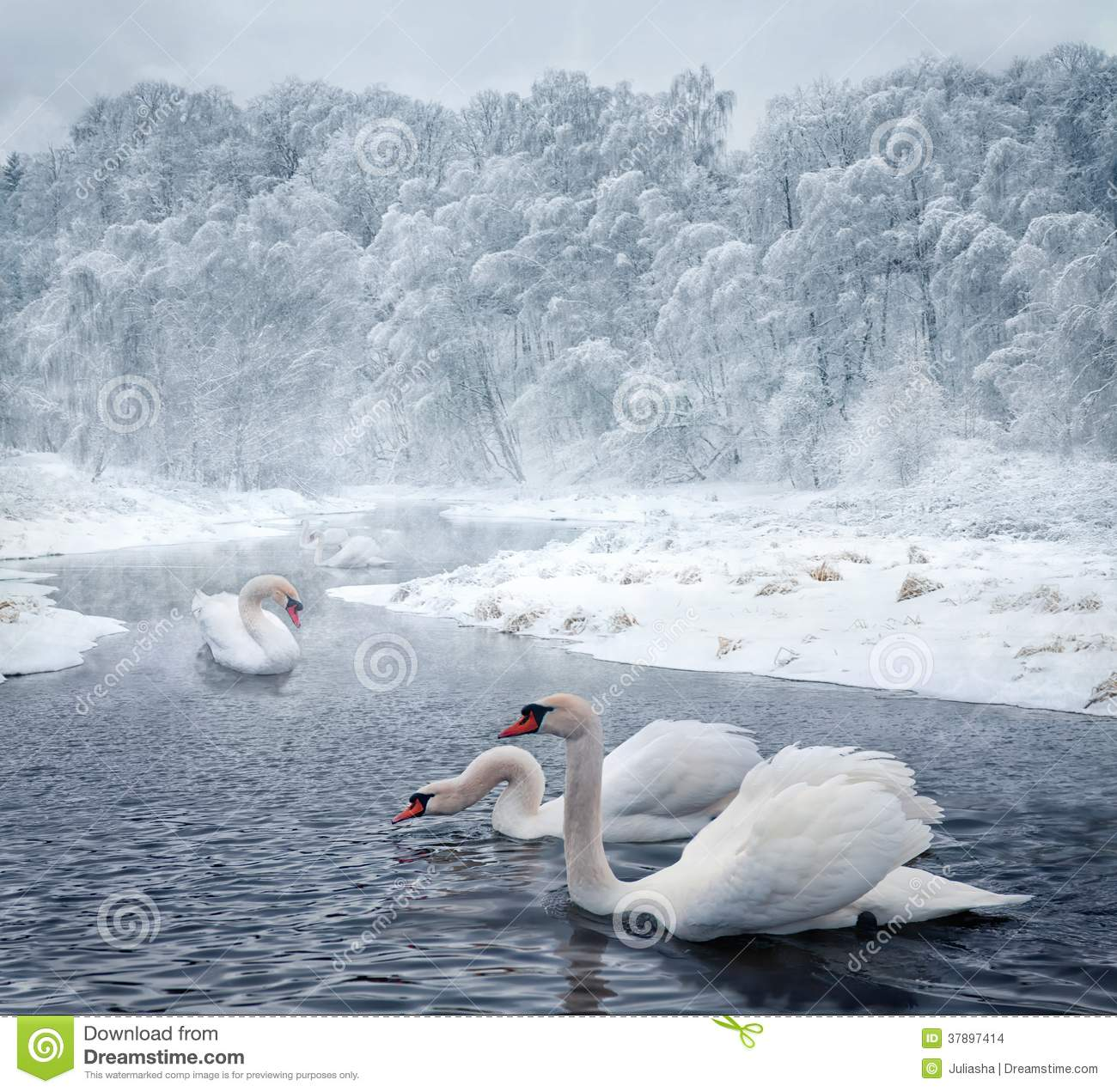Swans in winter lake