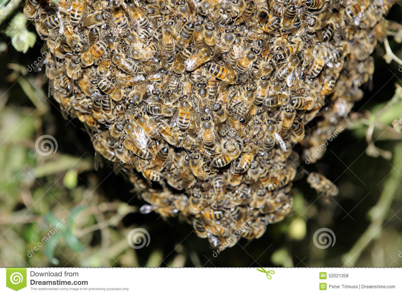 Swarm Of Bees Hanging In A Tree Stock Photo - Image of honeybee ...