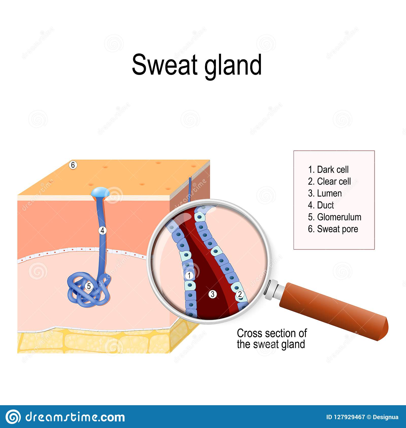 Sweat Gland Stock Vector  Illustration Of Cells  Labeled