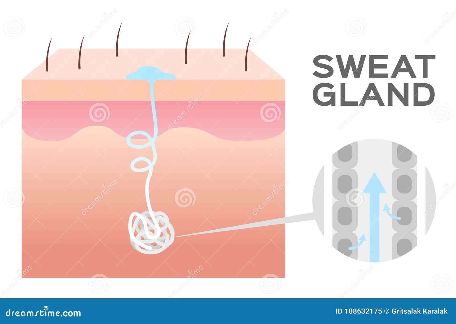 Skin Sweat Diagram Block And Schematic Diagrams