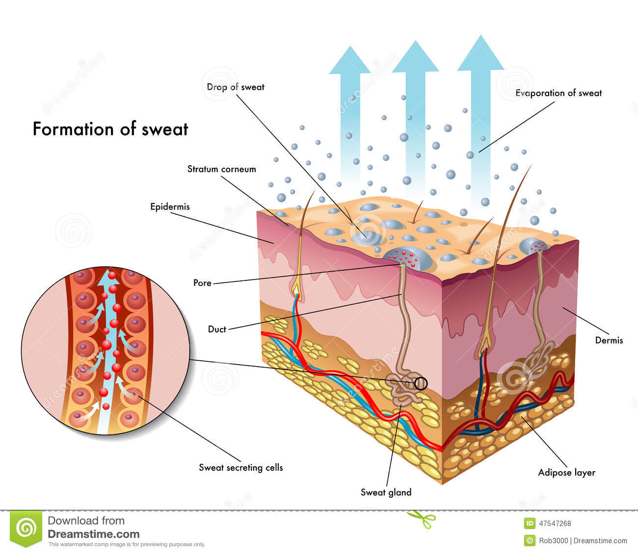 Direction selective ganglion cells further Facial Nerve Anatomy For Medical Students And Ent Postgraduates further Cone Pathways Through The Retina as well 10541805 furthermore Lymphatic Drainage System Diagram. on nerve circuit