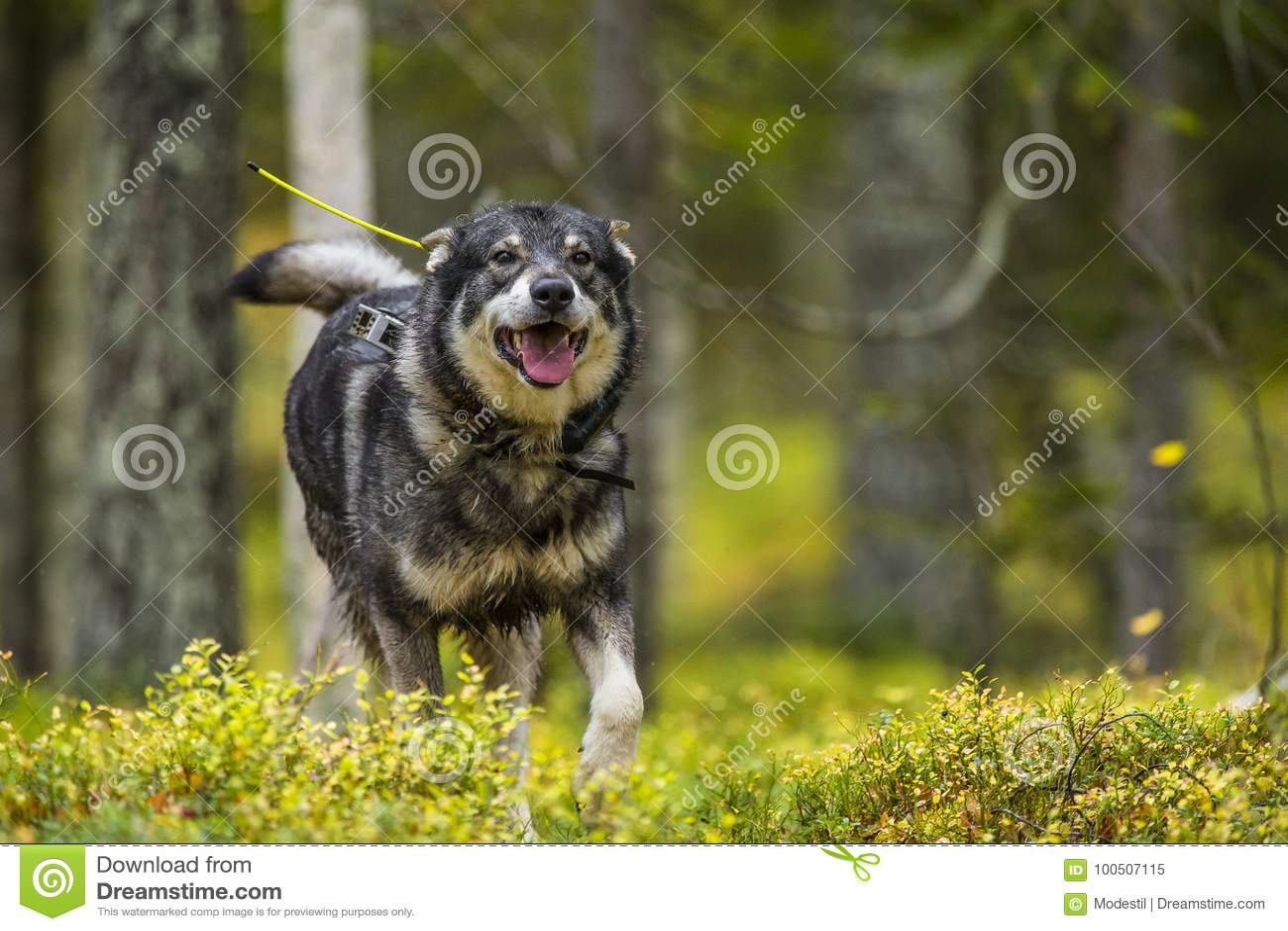 Swedish Moosehound in the fall