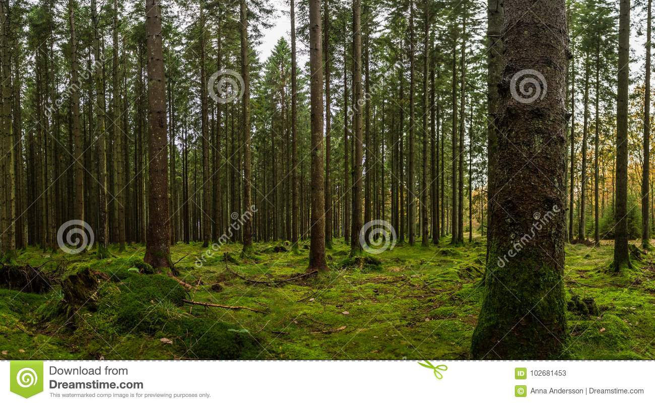 Swedish woods with Green Moss