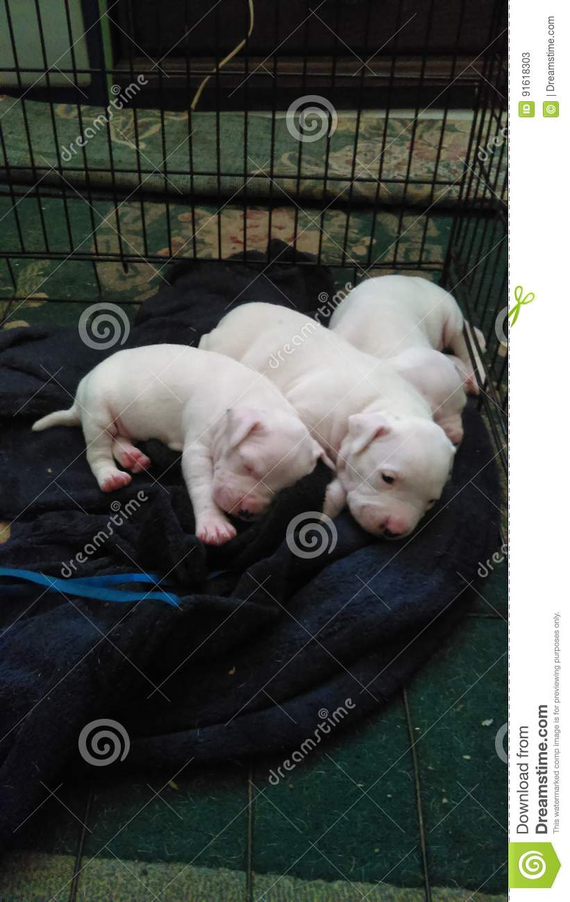Sweet All White Gotti Pitbull Puppies Nestled Together Sleeping