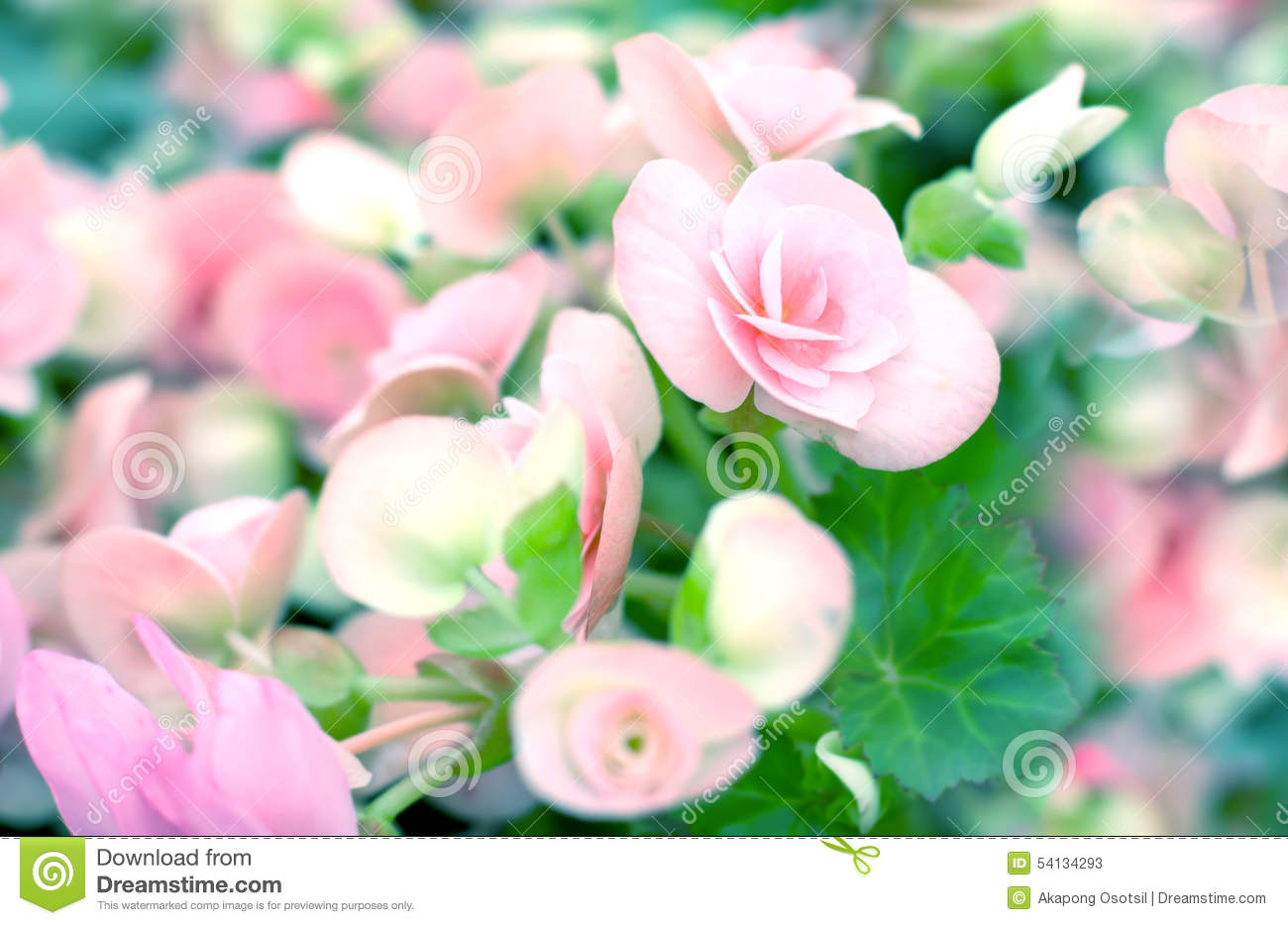 Sweet Begonia Beauty Flower In The Garden Stock Image - Image of ...