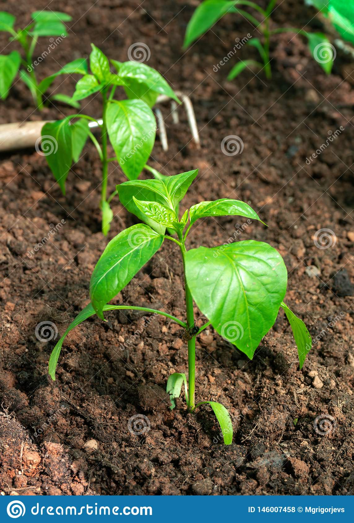 Sweet bell Pepper seedlings, young plants on a vegetable garden bed