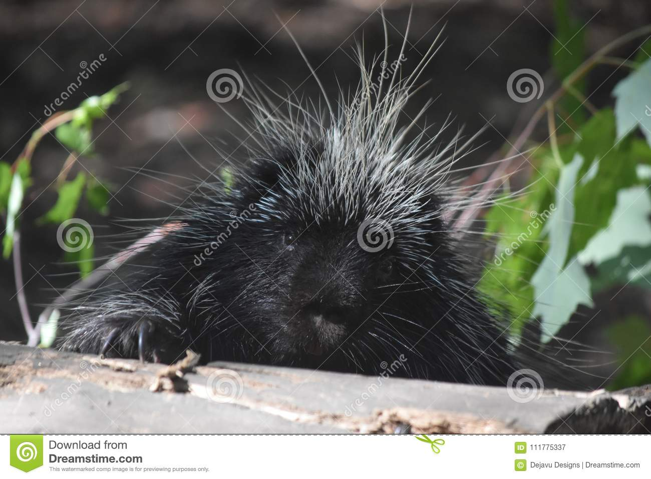 Sweet black and white quilled porcupine resting on a log