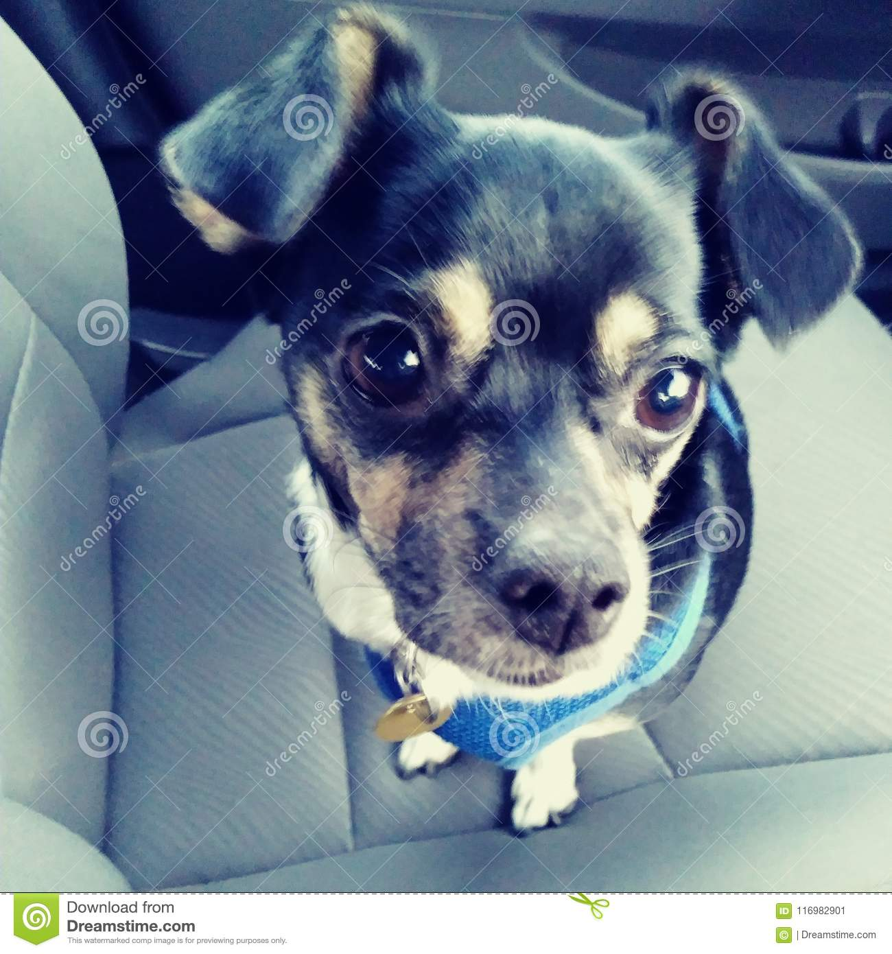 Chihuahua Dog Puppy Cute Adorable Riding In A Car Big Eyes Floppy Ears Black Tan And White Adorable Stock Image Image Of Puppy Adorable 116982901