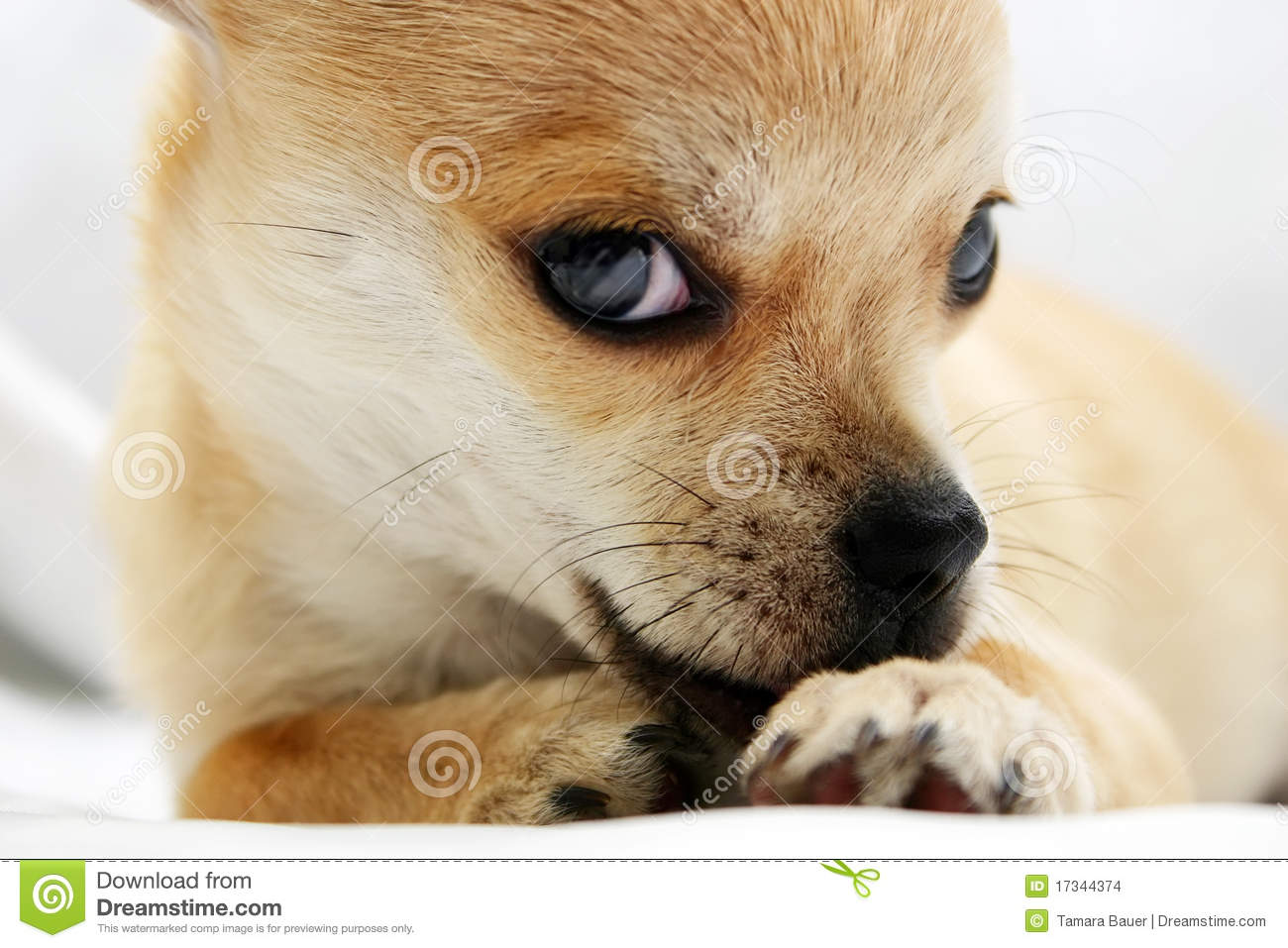 Sweet Golden Chihuahua Pup Stock Images - Image: 17344374