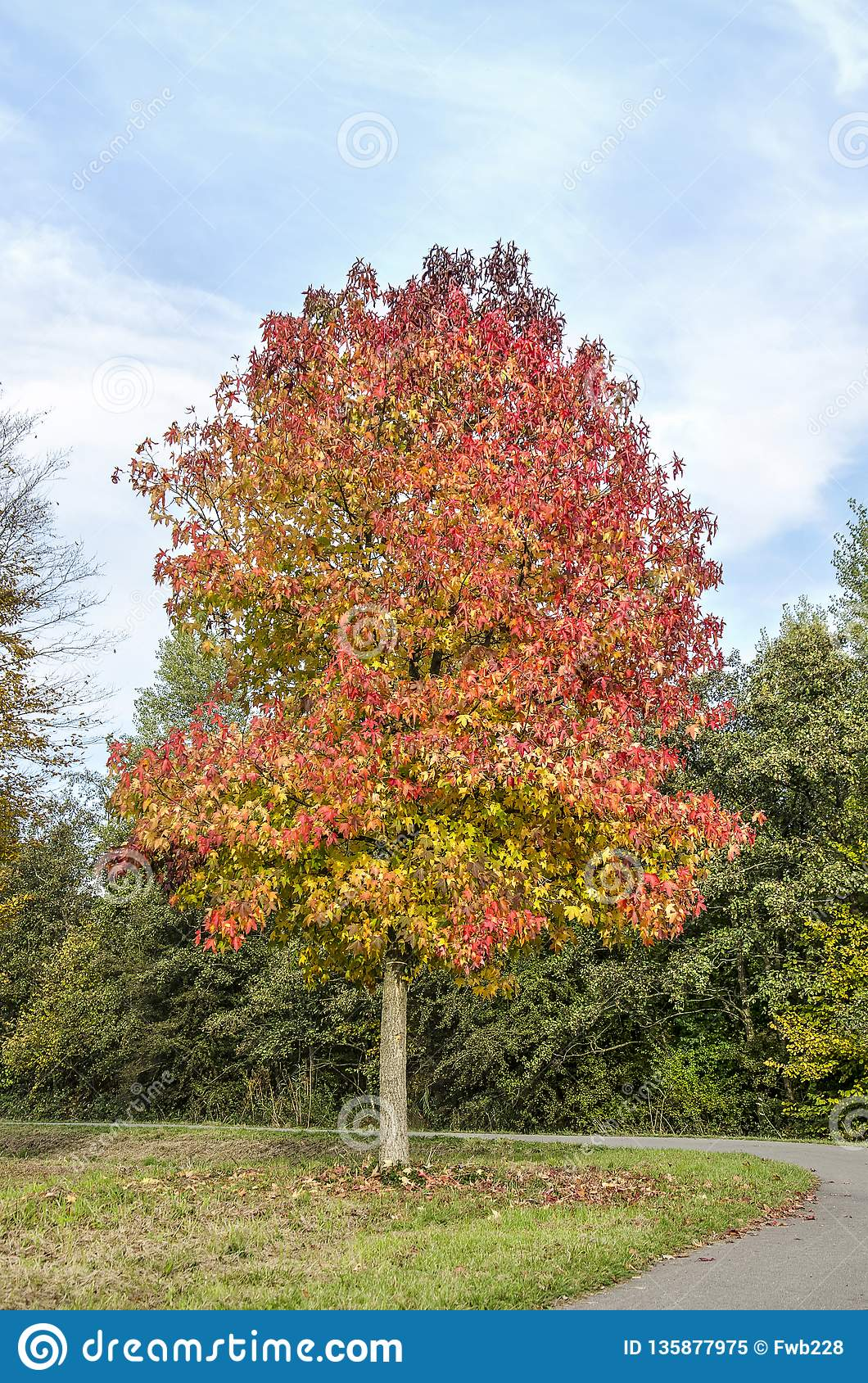Sweet Gum Tree In A Curve Of The Road Stock Image Image Of Europe Fall 135877975