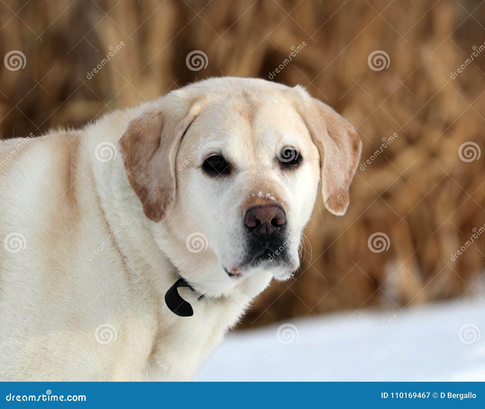 Sweet Labrador Retriever Playing In Snow Beautiful Best Dog Stock