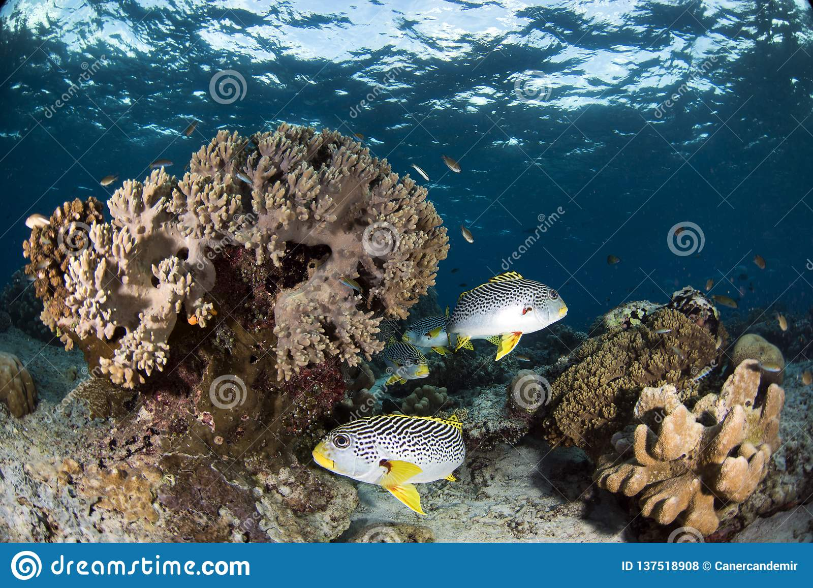 Sweet lips fishes on coral reef with blue background