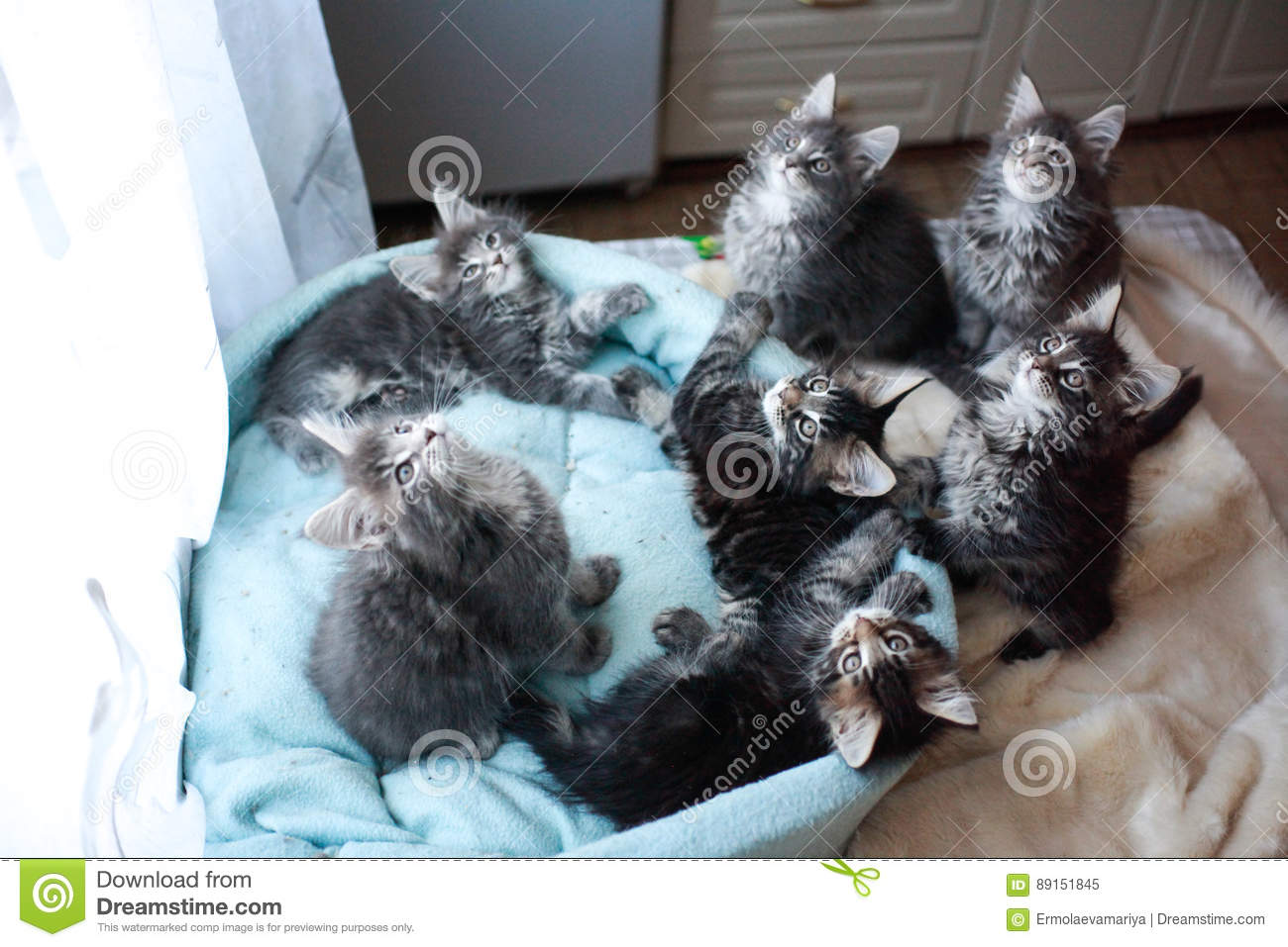 Sweet Maine Coon Kittens Blue And Black Colored Lying In A