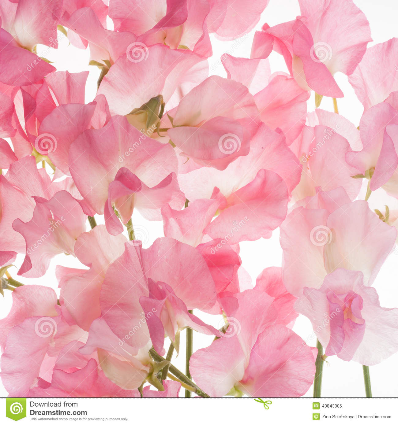 Sweet Pea Flower Background Stock Image Image 40843905