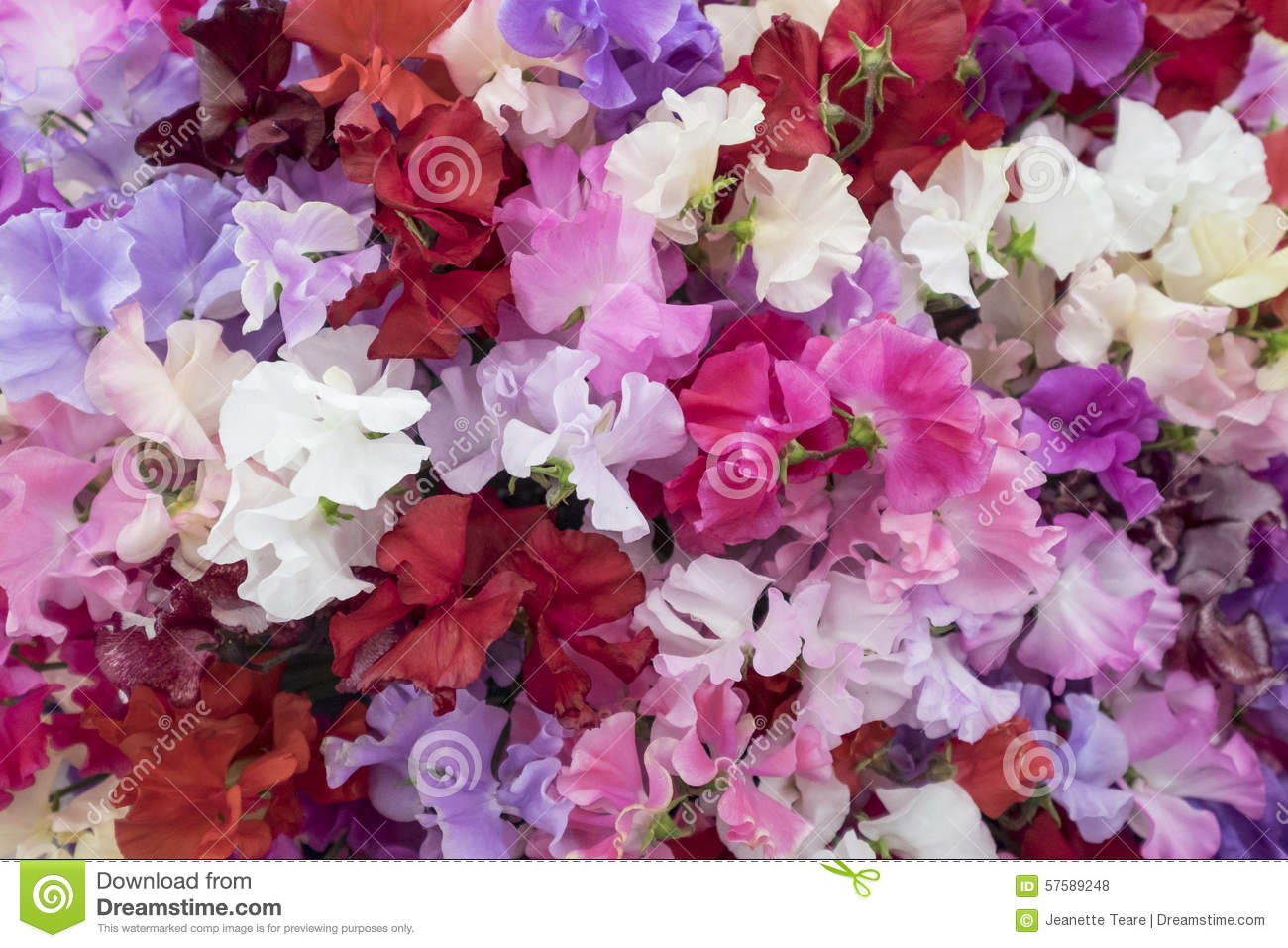 Sweet Pea Flowers In Shades Of Pink Stock Photo Image Of Flowers