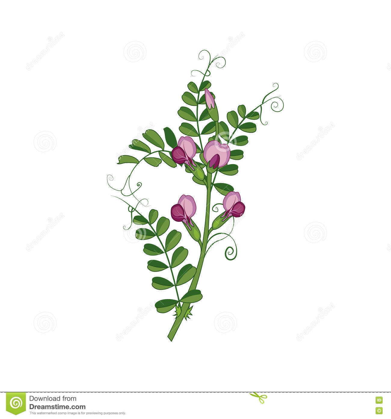 Wild Sweet Pea Drawing