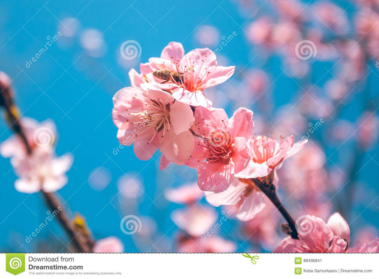 Sweet Peach Blossoms In Early Spring Bees Food Stock Image Image
