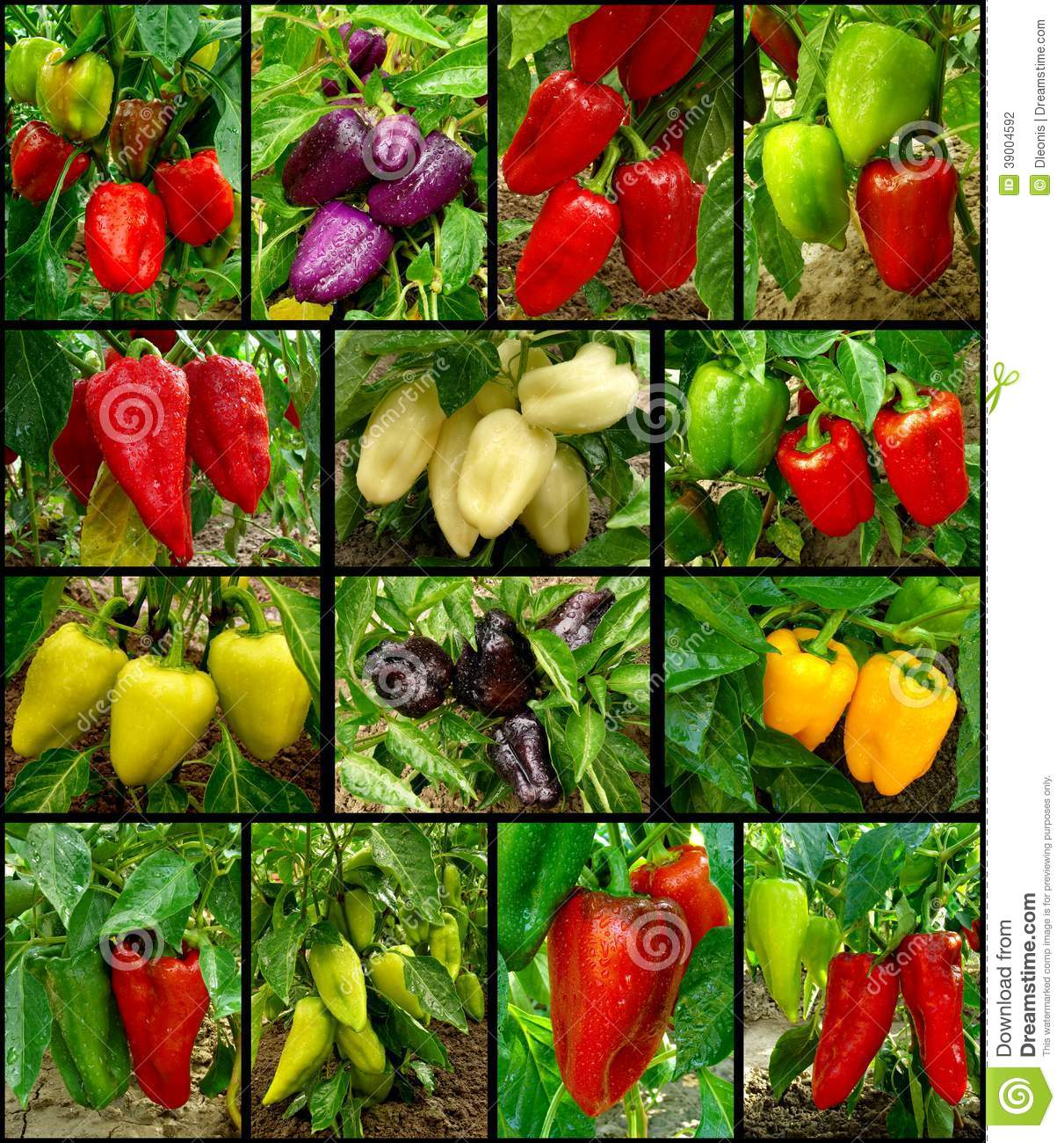 What varieties of sweet pepper can be grown in a home garden and how 74