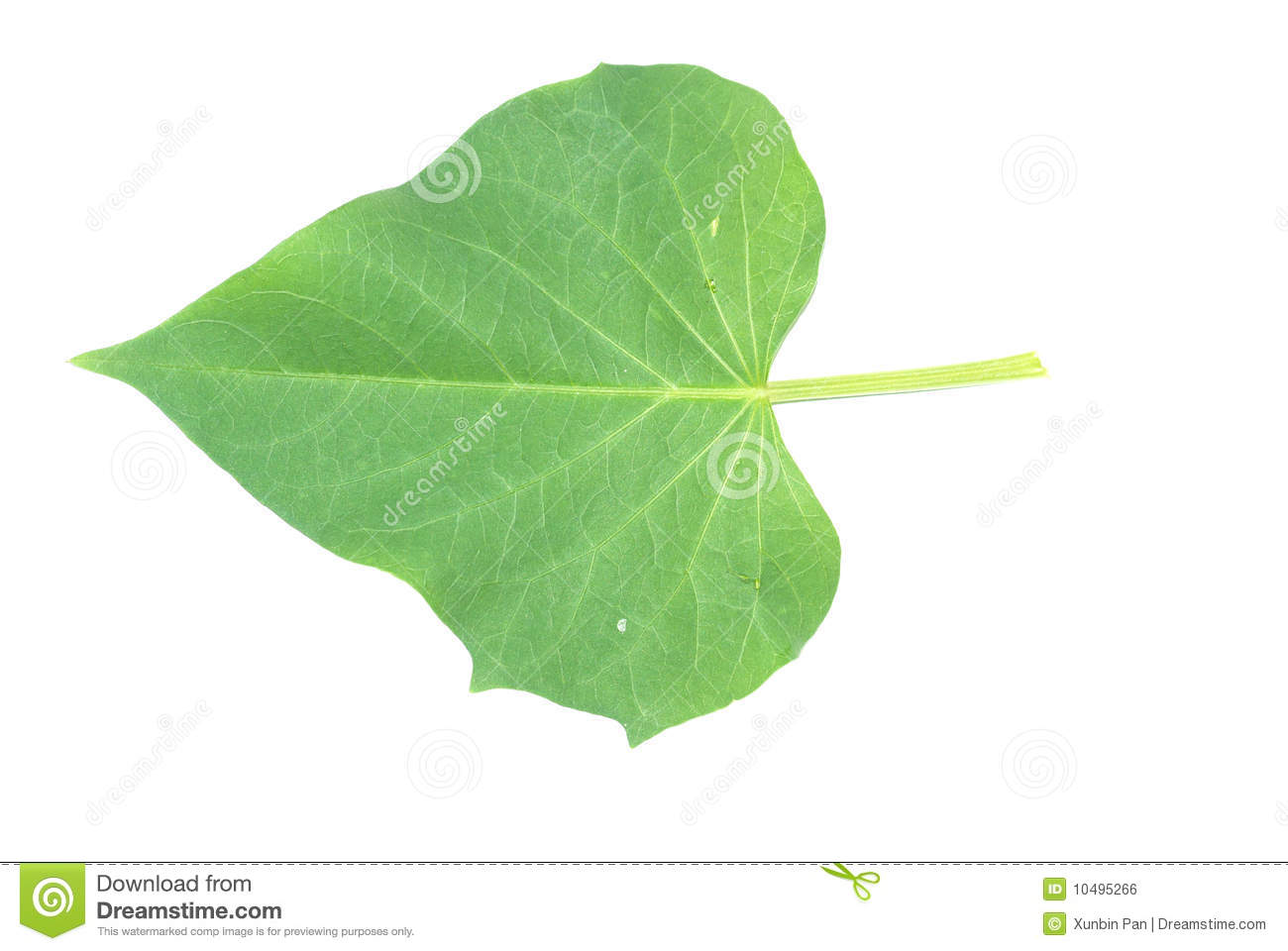 potato leaves potato leaves belacan yam branch of sweet potato leaves ...