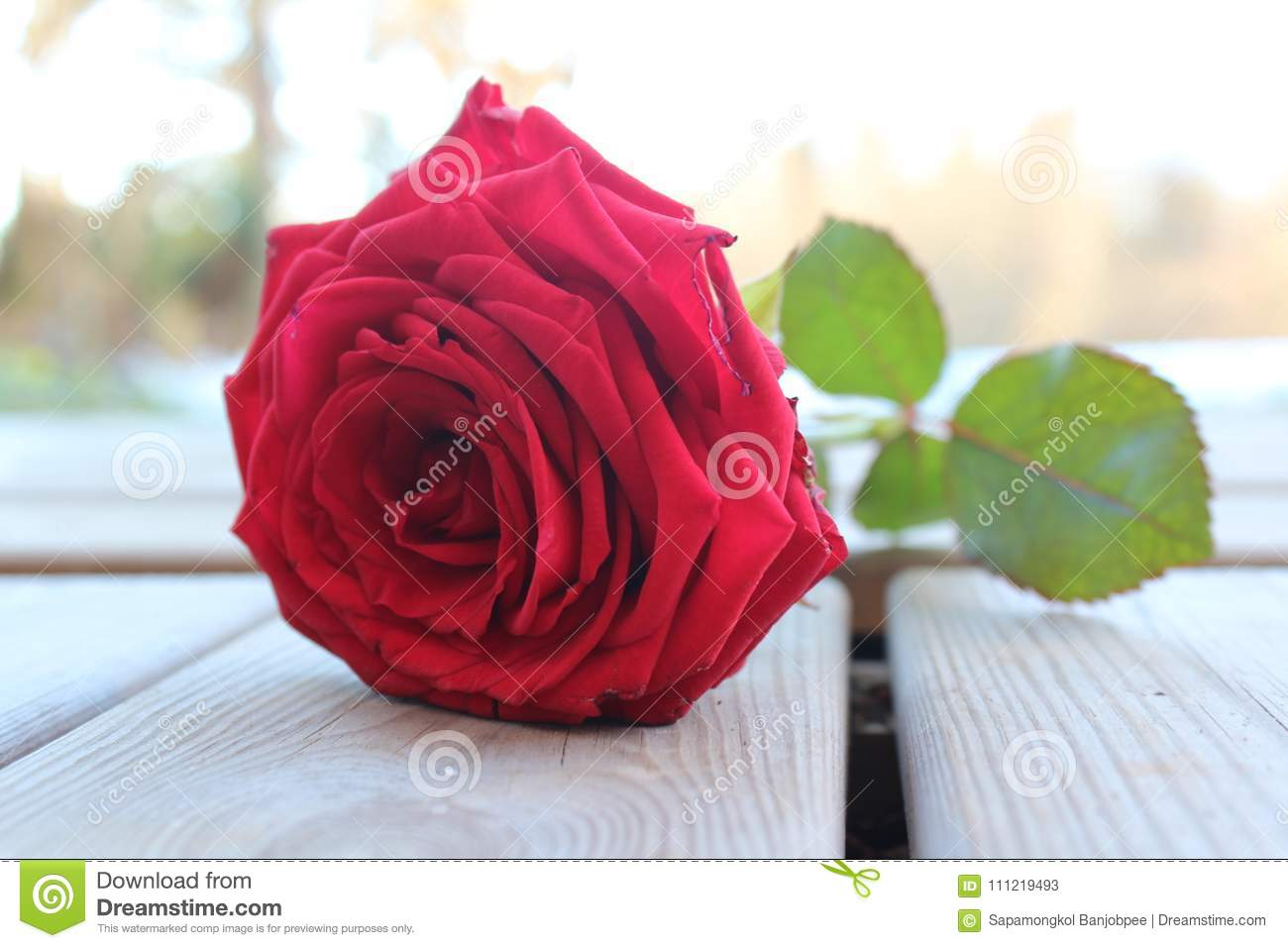 Red Rose Flower Sweet Color On Week Outside Stock Image - Image of ...