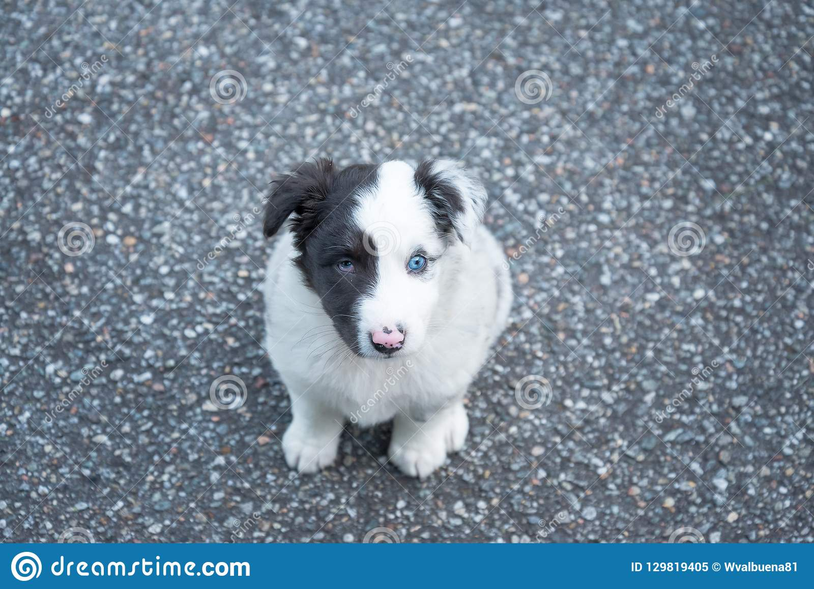 Sweet And Small Australian Shepherd Puppy Dog Stock Image Image Of Shepherd Pink 129819405