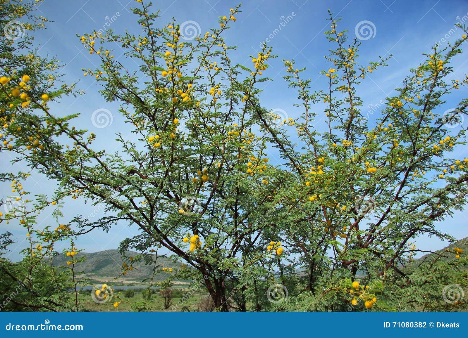 Sweet Thorn Acacia Karroo Stock Photo Image Of Acacia 71080382