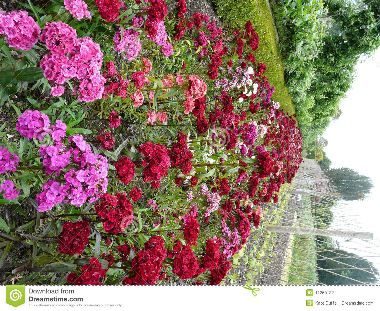 Sweet William Flowers Stock graphy Image