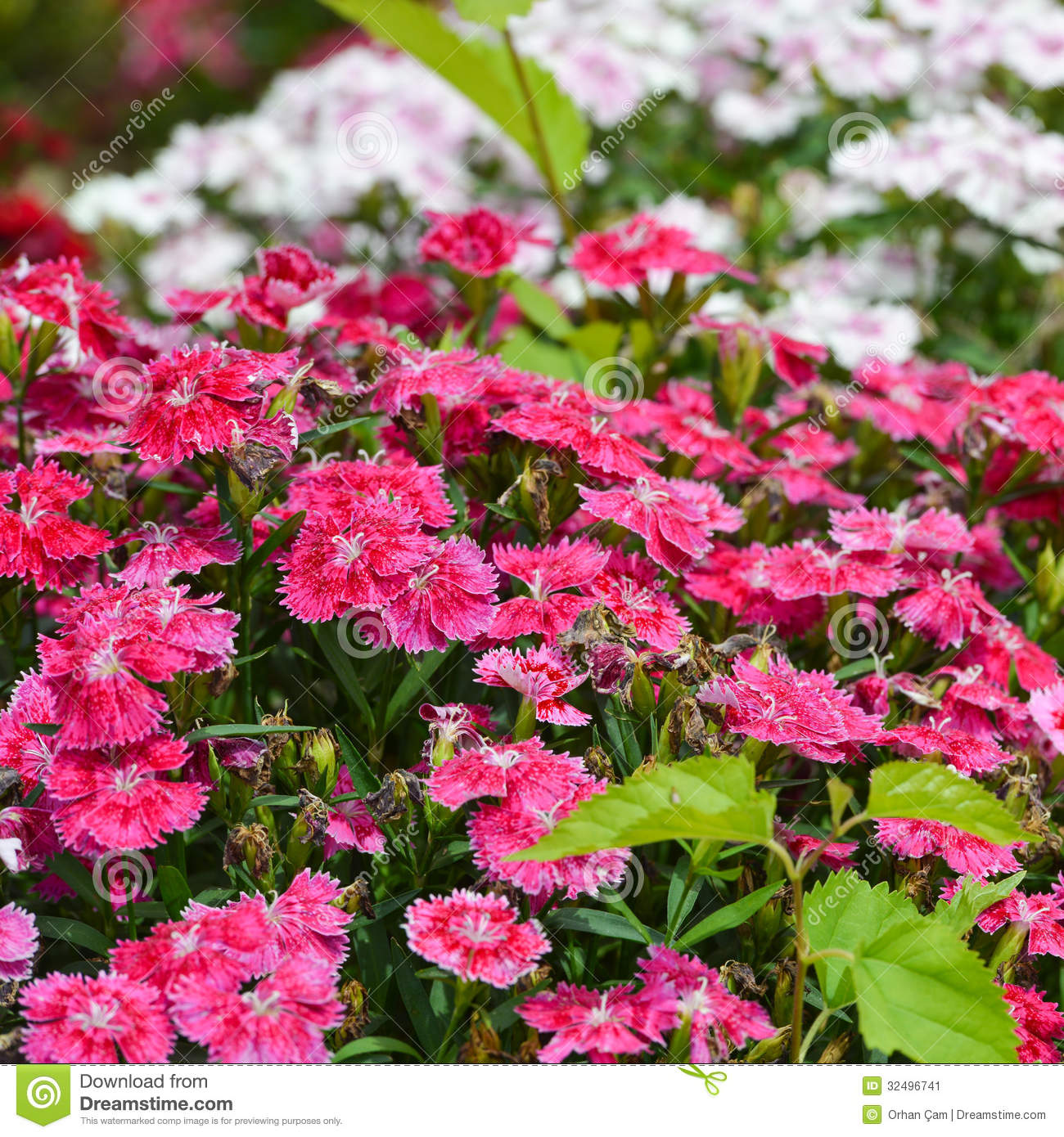 Sweet William Flowers Stock Image Image