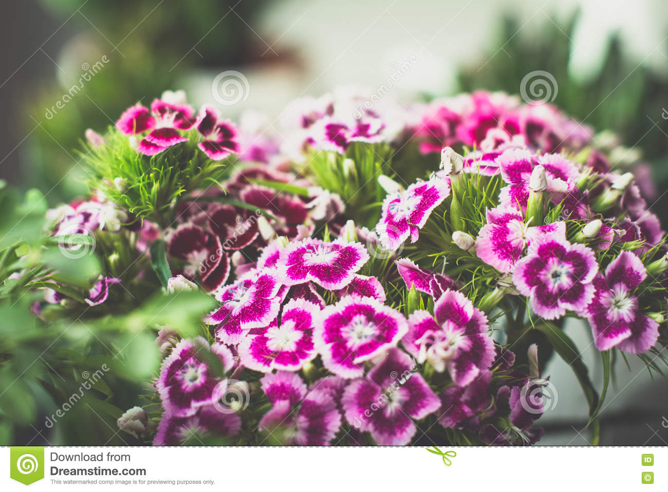 Download Sweet william flowers stock image. Image of card, background - 74693347