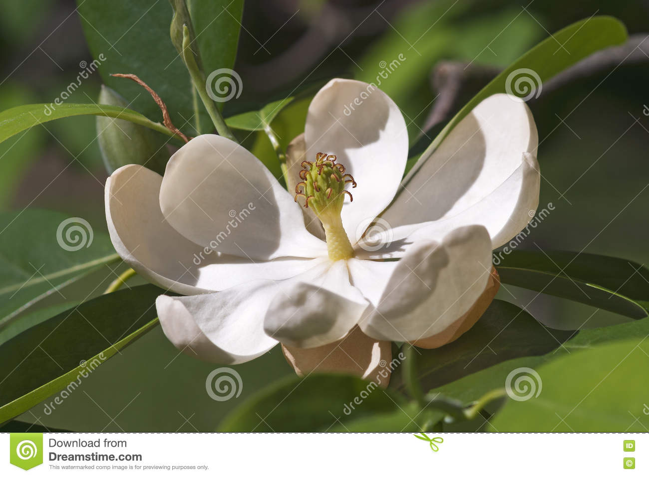 Sweetbay Magnolia Flower Stock Photo Image Of Laurel 72985104