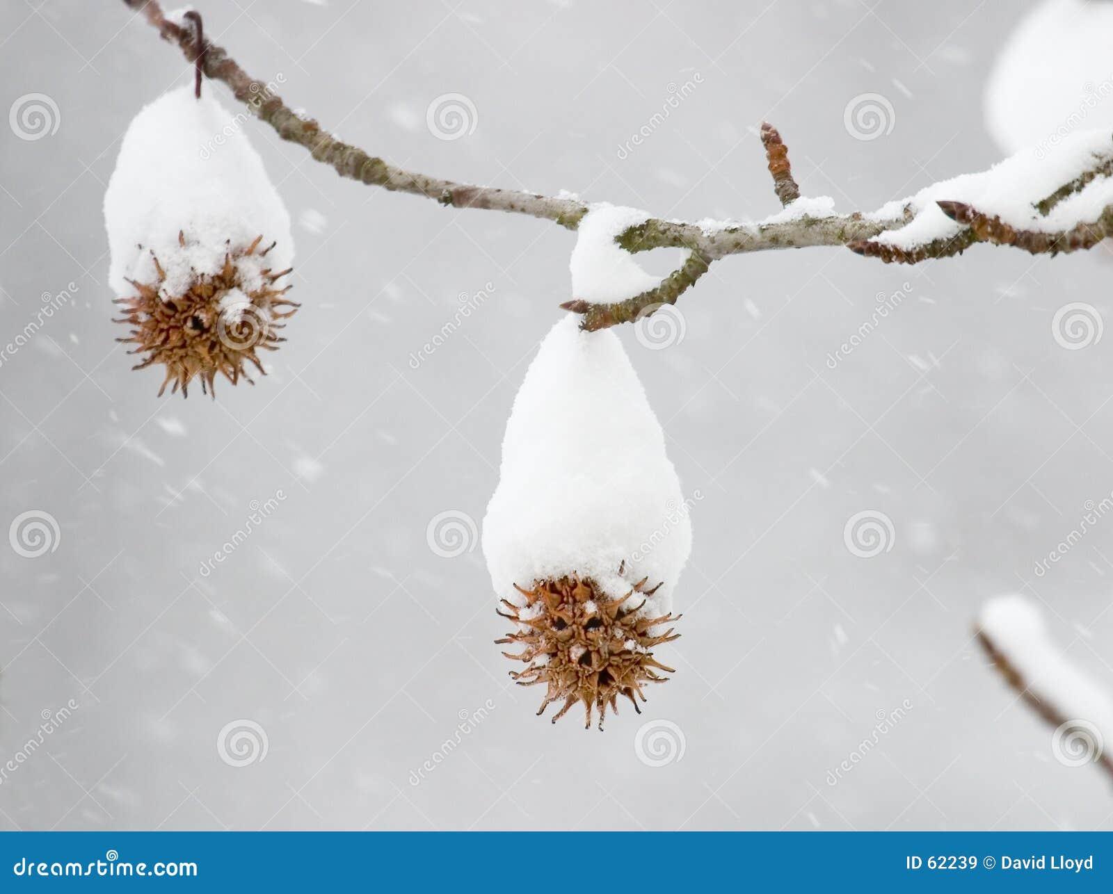 Sweetgum in de winter
